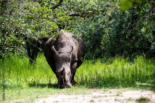 Aluminium Neushoorn Nashorn in der Wildnis von Afrika