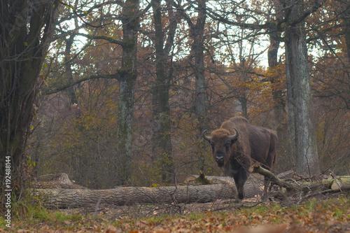 Fotobehang Bison European Bison Male