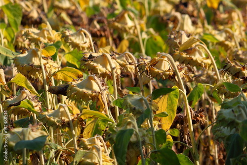 Agricultural field of dry ripe sunflower ready for harvest