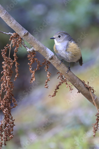 Foto op Canvas Natuur Red flanked bluetail