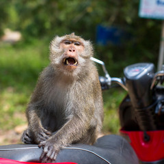 Monkey sitting on a motorbike, Thailand. Travel and tourism.