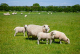 English rural landscape in with grazing sheep - 192500761