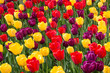 Frame full of tulips in bloom in a variety of colors.  Floral pattern.  Background.