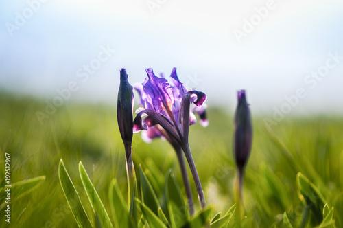 Fotobehang Iris Wild violet iris flower growing in nature, summer seasonal floral sunny background