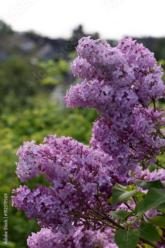Purple syringa vulgaris bush flowering in a garden in springtime