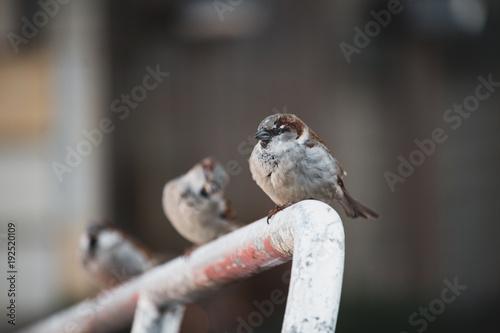 songbirds in Berlin city