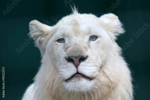 the-portrait-of-a-young-white-lion