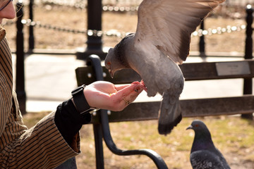 Pigeons in the park eating corn from a woman's hand.