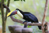 choco toucan sitting on a branch - 192527952
