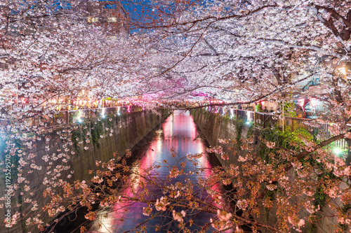 Fototapeta Cherry blossom lined Meguro Canal at night in Tokyo, Japan. Springtime in April in Tokyo, Japan.