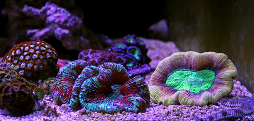 Open brain lps reef coral