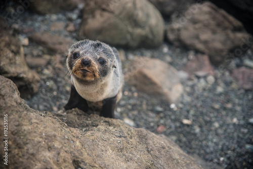 Foto Murales A fur seal pup on a rock in New Zealand.