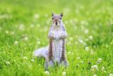 Eastern Gray Squirrel - 192536532
