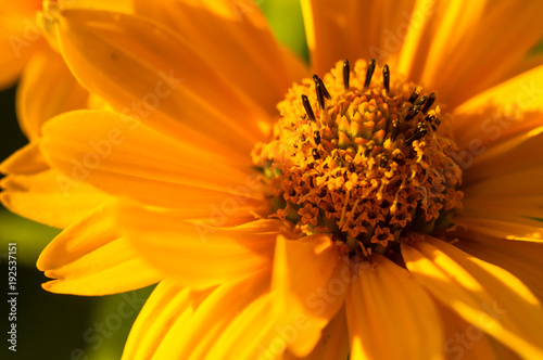 bouquet of bright yellow flowers Heliopsis helianthoides