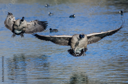 Aluminium Canada Canada Geese Landing On The Still Blue Pond Water