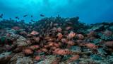 Red Snapper School in Fakarava Atoll - 192546366