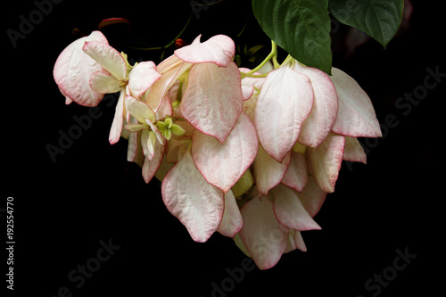 Тропический цветок Муссенда