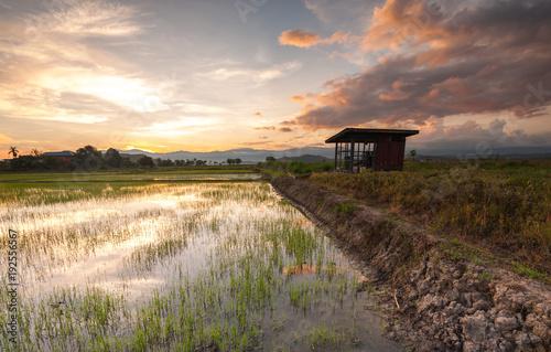Fotobehang Zalm sunrise at rice paddy field at Kota Belud, Sabah Malaysia.