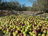 Many fresh picked olives on the ground