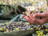 Many olives in farmers hand