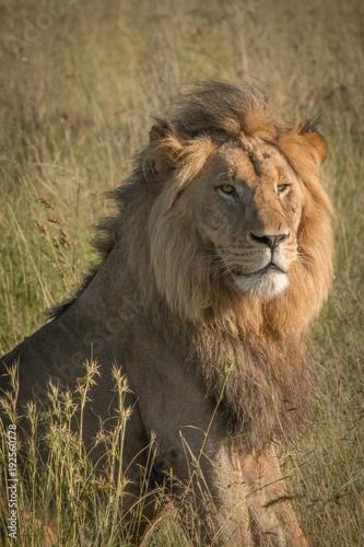 Fotobehang Lion King of the Jungle