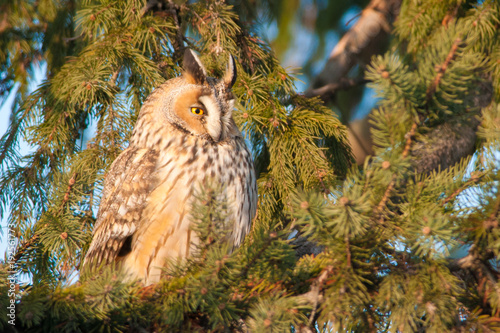 Long Eared Owl on fir tree