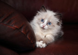 Cute fluffy kitten on the couch