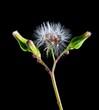 dandelion, flower, nature, seed, plant, green, white, spring,