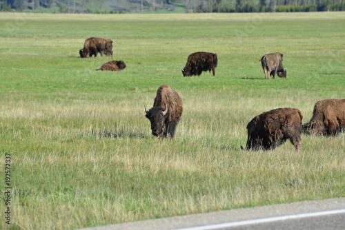 Fotobehang Bison Trip to Yellowstone National Park, USA