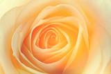 macro de una rosa amarilla - 192576551