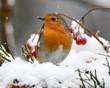 Leinwanddruck Bild - Rotkehlchen im Schnee