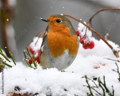 Leinwanddruck Bild Rotkehlchen im Schnee