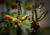 Macaone farfalla