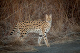Serval and his spots - 192579140