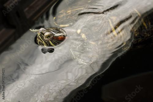 Fotobehang Schildpad A peeking turtle in the water surface.