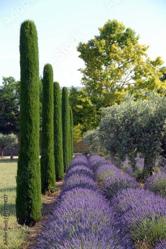 Canvas Lavendel Provence, champs de lavande, d'ifs et d'oliviers dans le Luberon en Provence, France