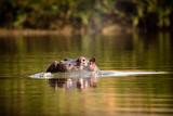 Hippo / Flusspferd / Nilpferd im Morgenlicht - 192589743