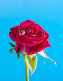 red rose with rain drops - macro detail - 192604744