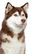 Close-up of Siberian husky dog