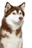 Close-up of Siberian husky dog - 192605940