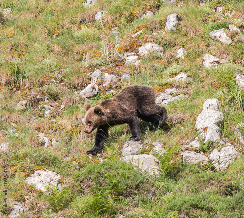 brown bear in Asturian lands, descending the mountain in search of food
