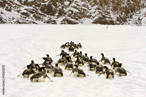 Fotobehang Pinguin Emperor penguins(aptenodytes forsteri)walking on their bellies on the sea ice of Davis sea,Antarctica