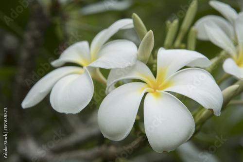 Plexiglas Plumeria Rarotonga Cook Islands Polynesia. Mare Nui Gardens