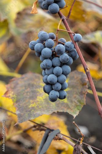 Fotobehang Wijngaard Red wine grape in a vineyard