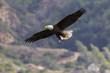 Eagle flying high above Los Angeles foothills