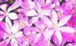 Leinwanddruck Bild - Wiese mit zarten Blumen im Frühling