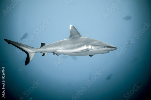 Fototapeta Close up of white tip reef shark from the tropical Maldives