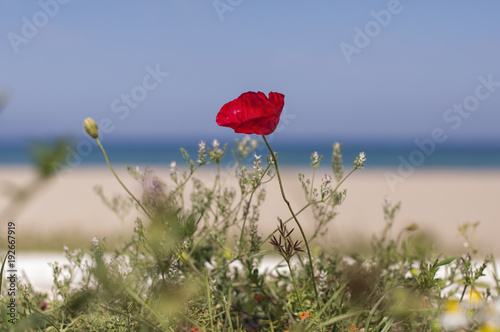 Gelincik çiçeği, arka planda deniz.