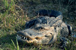 American alligator (Alligator mississippiensis)  with open mouth and white teeth. Florida, Everglades National Park, USA