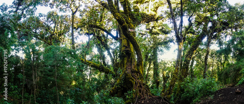 Big tree in a forest in Guatemala. - 192678795